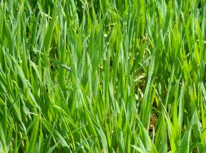 Picture of wheat in our fields.